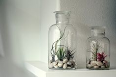 Airplants in glass bottles - could use my beach stones from Tasmania