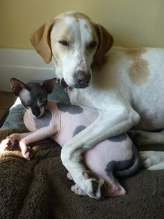Cuddle buddies. #hairless #sphynx #cat #dog