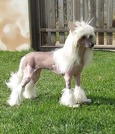 Chinese Crested toy dog, native to China, is defined as a hairless dog . Toy Dog Breeds, Small Dog Breeds, Cat Breeds, Small Dogs, Small Breed, Dog Separation Anxiety, Dog Anxiety, Anxiety Tips, Low Shedding Dog Breeds