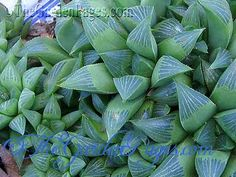 Great site called the Garden Pages with many types of succulents and good growing descriptions.  Like this haworthia image