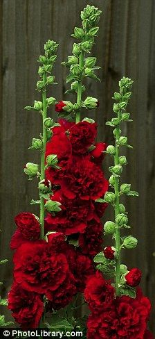 Jolly hollyhocks! These Victorian favourites are back in fashion