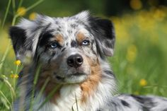 PetBreeds broke down data from the American Kennel Club to determine which dog breeds are becoming more popular to own in the United States.