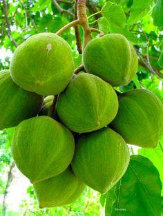 Javilla o Jabilla. Los niños pobres usaban esta fruta como ruedas para los carrritos que ellos mismos construían.