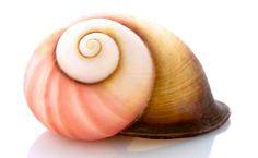 Pink Tree Snail