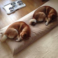 shiba. Such cute. Very duo. Wow!