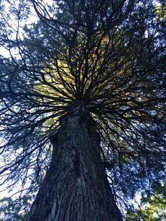 Majestosa Árvore No Camping do Vidoeiro no Gerês Por Vera Dantas