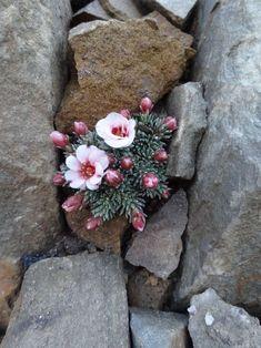 Saxifraga 'Karel Capek' [Family: Saxifragaceae]