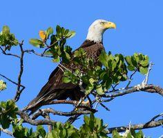 Bal Eagle at Deering Estate