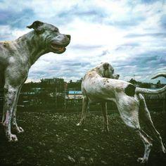 #dogo #dogoargentino