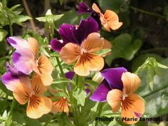 Beautiful and Delicious Edible Flowers: Pansies can take cold weather, even a frost or two, and keep on blooming.
