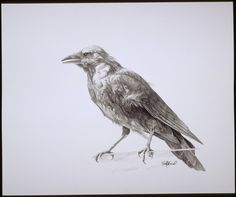 Drawing of a Crow. This is some older work of mine but still one of my favs. I used a photo I took of him to help draw, at the time the photo was taken he was perched on a glass wall in case you we...
