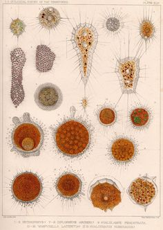 Fresh water microscopic life forms, 1879 plate
