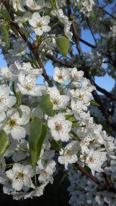 Close up pear tree flowers