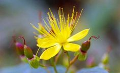 Třezalka tečkovaná Korn, Herbs, Plants, Herb, Flora, Plant, Planting