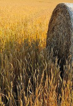 Waiting for Harvest - Hay | Autumn | background | VeryValerie | I love fall |