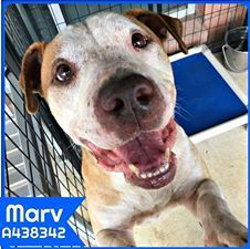 6-21-17 SAN ANTONIO, TX WILL KILL HIM!!! ID 438342 Marv is a calm guy who wants a home to take naps in. He really loves getting neck scratches and pets. Marv is a staffy blend, around 5 years old, and weighs about 50 lbs.   **PAST DEADLINE! Needs Commitment by 9:30AM and Picked Up by 6:30PM Wednesday 6/21!** To adopt, foster, or rescue, please email: placement@sanantoniopetsalive.org
