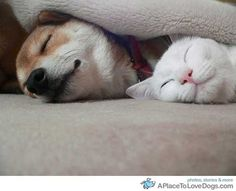 Shiba Inu and white cat happily sharing nap time