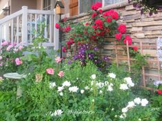"My front cottage garden with my stunning red climbing roses started from a tiny cutting I grew under an old fruit jar... cutting from my ""secret spot""..."