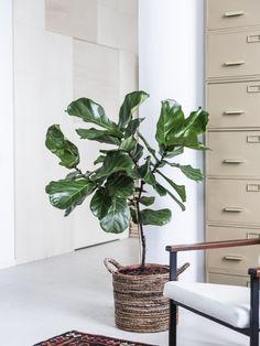 Ficus lyrata Mooiwatplantendoen.nl