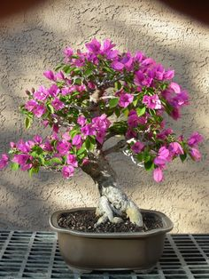 The Tucson Bonsai Society will be hosting a show and demonstration at Mesquite Valley Growers on Saturday!