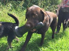 Dog Finds A Giant Dildo And Carries It Around During His Walk