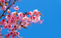 Lataa kuva cherry blossom, kevät, keväällä vaaleanpunaiset kukat, sininen pilvinen taivas, kirsikka oksat