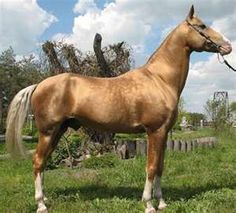 Akhal-Teke horse breed information