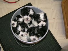 Havanese puppies for sale and information on Havanese puppies