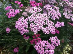 Yarrow is drought tolerant and can spread a bit. I like it's light and airy foliage next to the texture of many other perennials. Low maintenance.