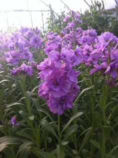 Stock Light Lavender
