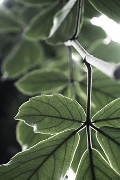 ^green.quenalbertini: Green leaves