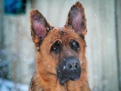 30 Facts That Prove German Shepherds Are The Greatest Dog Breed In The World
