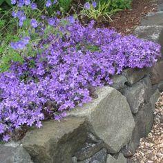 Clopotei Campanula portenschlagiana - RoyalPlant.ro Small Gardens, Garden Projects, Garden Ideas, Stepping Stones, Lavender, Sidewalk, Backyard, Landscape, Patio
