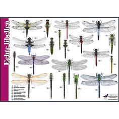 Echte libellen en juffers breng je op naam met de herkenningskaart / zoekkaart Libellen. Lantaarntje, oeverlibel, paardenbijter, waterjuffer of glazenmaker, veel voorkomende soorten staan op deze z…