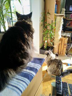 Maine Coon Kater Spirit und Katze Mystery beobachten die Vorgänge im anderen Raum Mystery, Animals, Cats, Animais, Animales, Animaux, Animal
