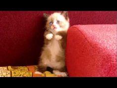 Cute Kitten Video