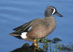Blue winged teal, on my excursion to Pelee Point in Canada.