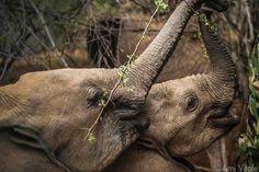 "444.5k Likes, 1,291 Comments - National Geographic (@natgeo) on Instagram: ""Photo by @amivitale. Shaba, the proxy matriarch of the Reteti Elephant Sanctuary (@r.e.s.c.u.e)…"""