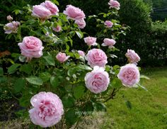 rose - frederic mistral - strong scent, repeat flowering, full sun