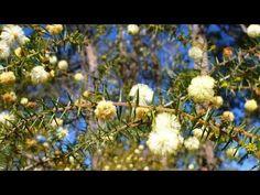 Attracting the Superb Fairywren to Your Garden | Green Gardener