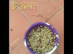 How to grow coriande