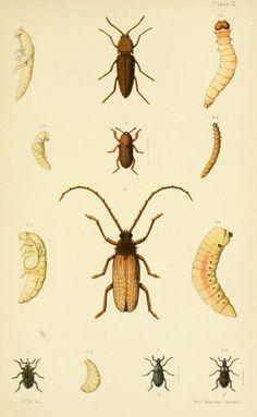 An elementary manual of New Zealand entomology; - Biodiversity Heritage Library. Plate II