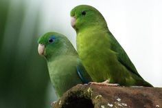 A pair of Spectacled Parrotlet in Colombia. - Rogier Klappe/Wikimedia Commons/CC BY 2.0