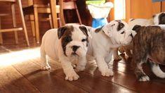 English Bulldog Puppies for Sale Cute Bulldogs, Bulldog Puppies For Sale, Cute Puppies, Cute Dogs, Dogs And Puppies, Baby Bulldogs, Corgi Puppies, Terrier Puppies, Boston Terrier
