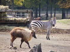 Zebra vs. Goat