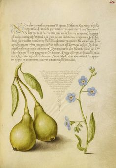 [folio 109r] Joris Hoefnagel (illuminator) [Flemish / Hungarian, 1542 - 1600], and Georg Bocskay (scribe) [Hungarian, died 1575], Pear and Creeping Forget-Me-Not, Flemish and Hungarian, 1561 - 1562; illumination added 1591 - 1596, Watercolors, gold and silver paint, and ink on parchment, Leaf: 16.6 x 12.4 cm (6 9/16 x 4 7/8 in.), 86.MV.527.109.