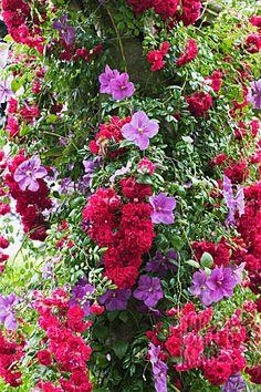 Plant climbing combo~~Clematis 'Victoria' & Rosa 'Crimson Shower' Rambler Rose by Trevor Sims~~ Love Garden, Dream Garden, Garden Art, Garden Design, Garden Roses, Unique Gardens, Amazing Gardens, Beautiful Gardens, Love Flowers