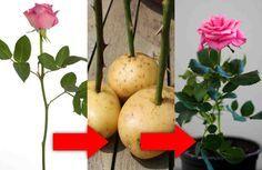 Cómo enraizar una rosa cortada. Un truco ¡fantástico!