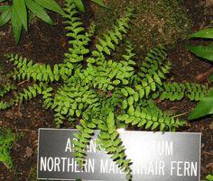Maidenhair fern for the shade garden