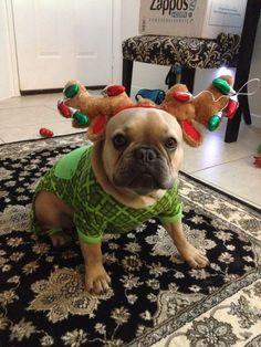 Merry Christmas from Duke Driggs, the French Bulldog Reindeer, ❤️ @thefrenchduke